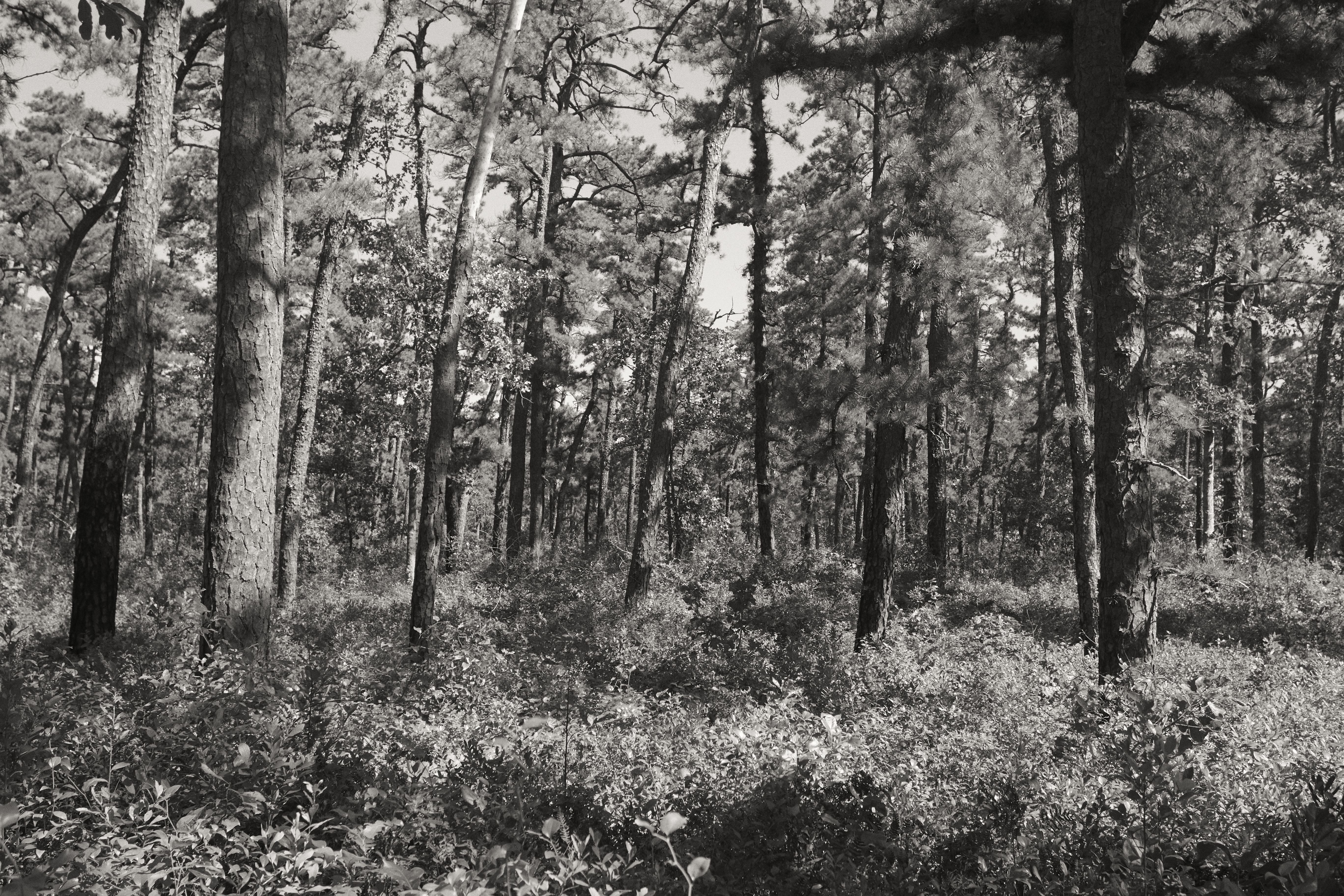 Black and white image of pine trees in Pine Barrens.