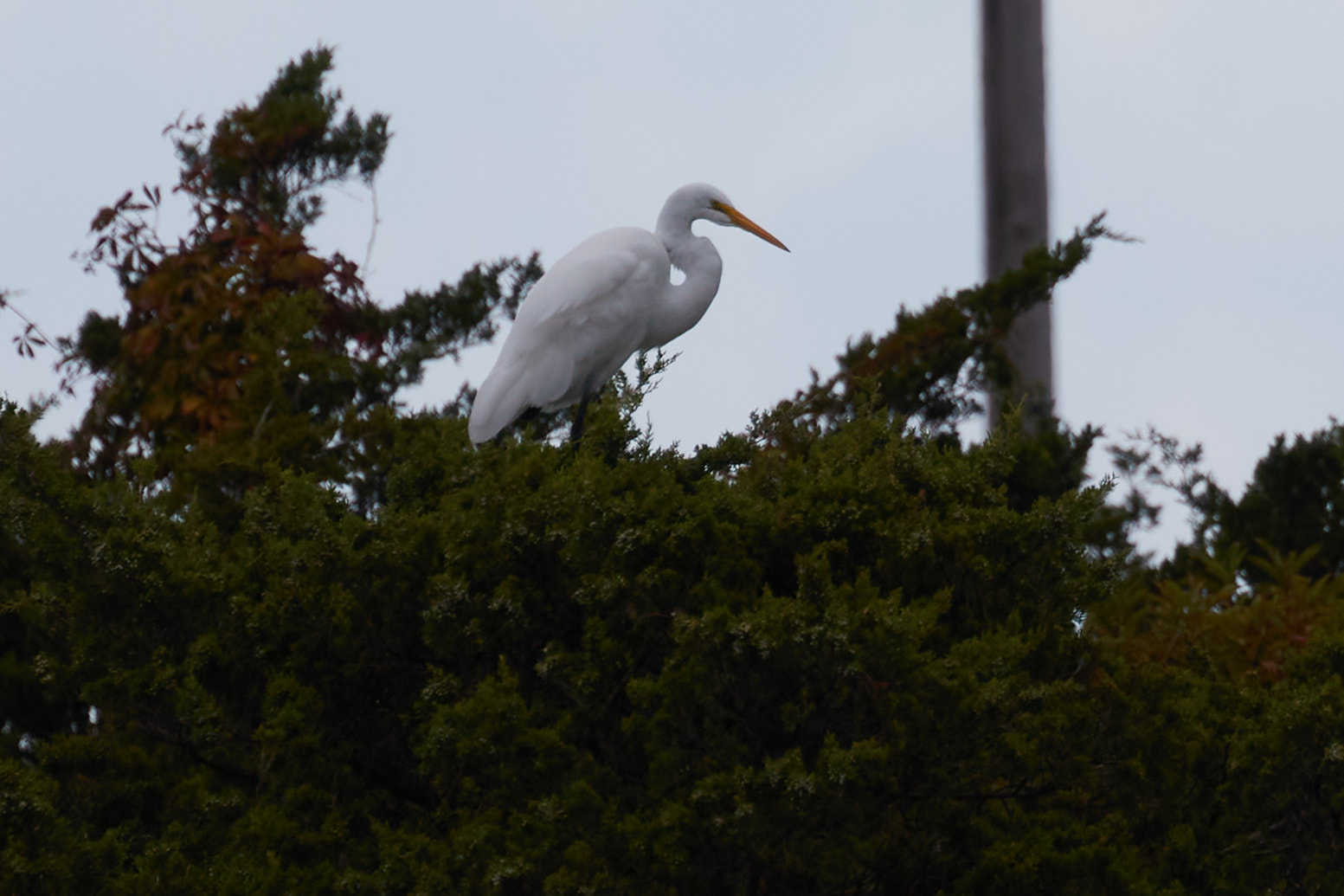 Snowy egret on tree.
