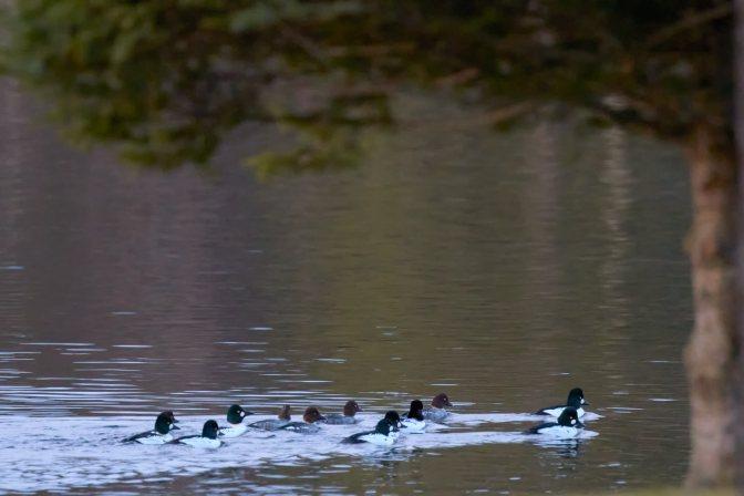 Raft of common goldeneye ducks.