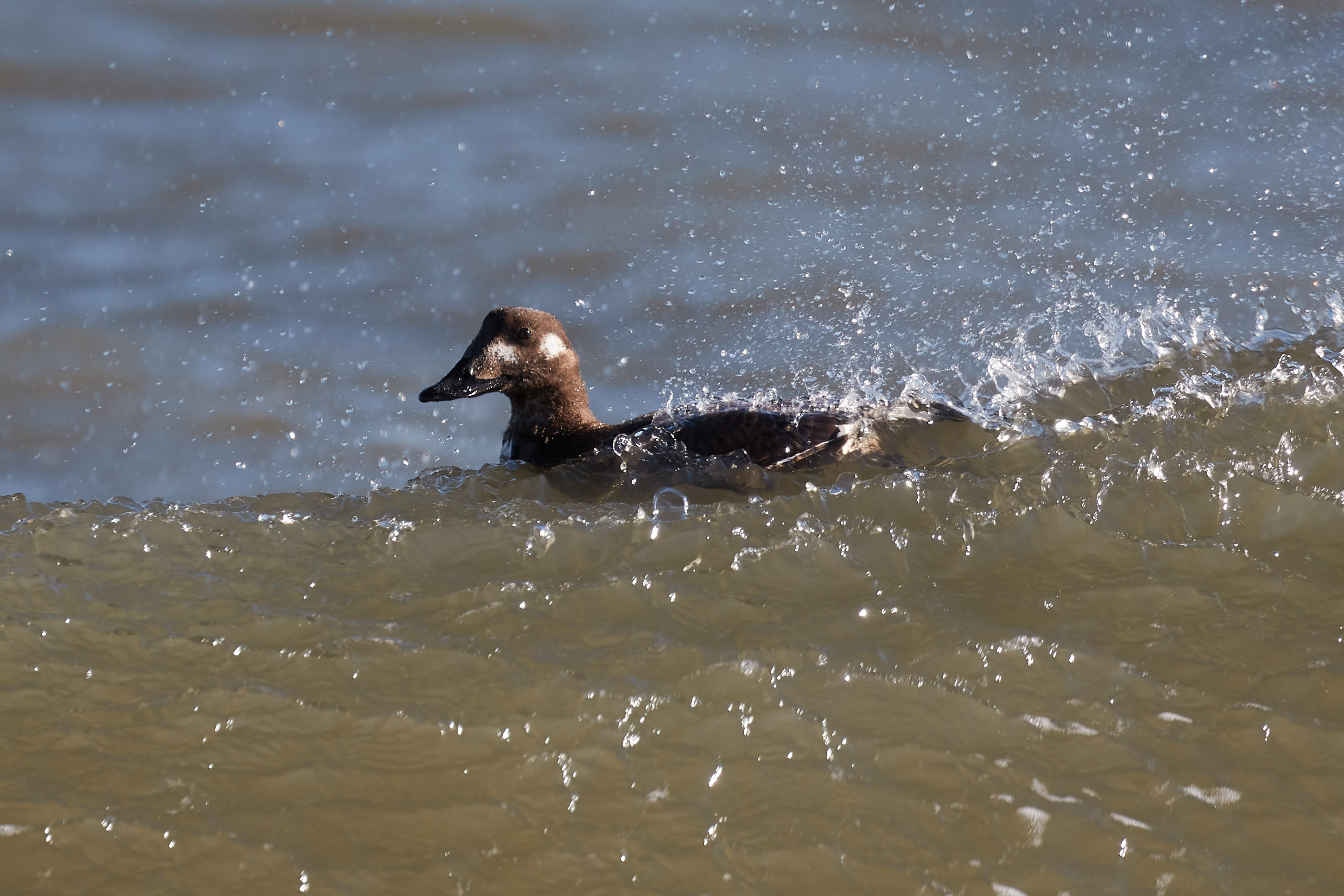 Female long-tailed duck in water.