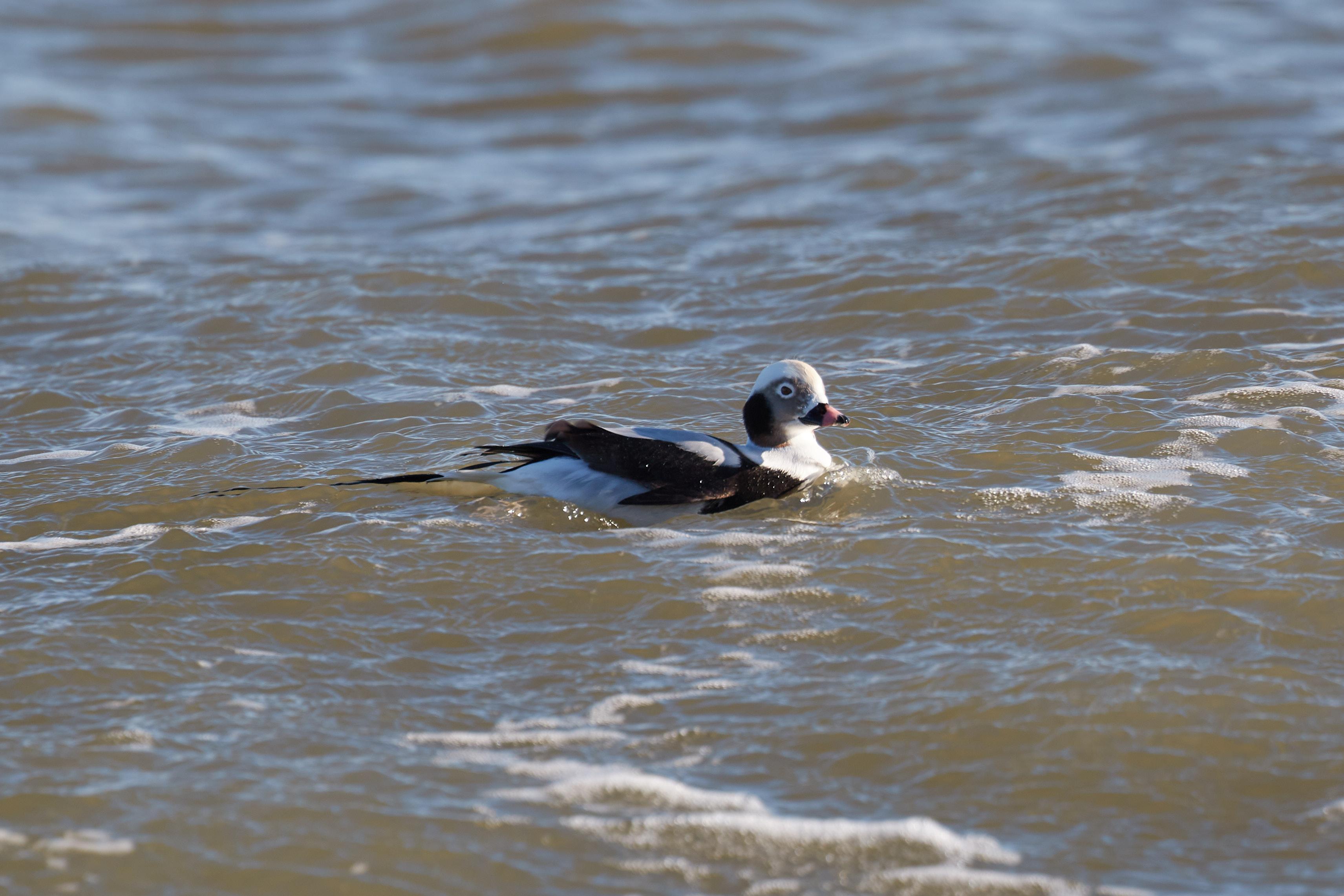 Winter Oldsquaw floating on ocean surf.