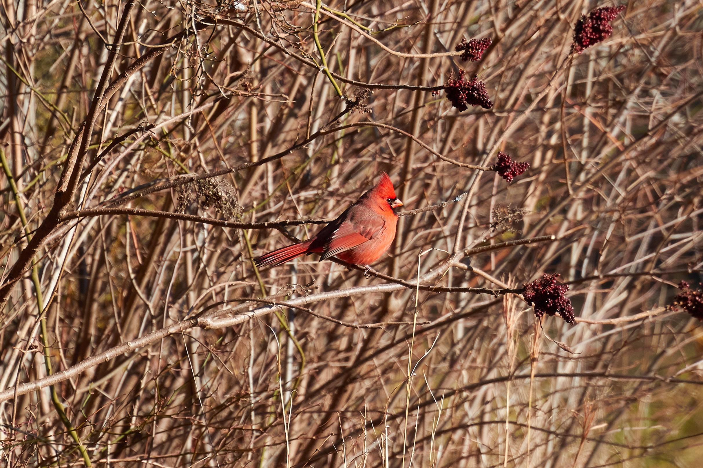 Cardinal on tree branch.