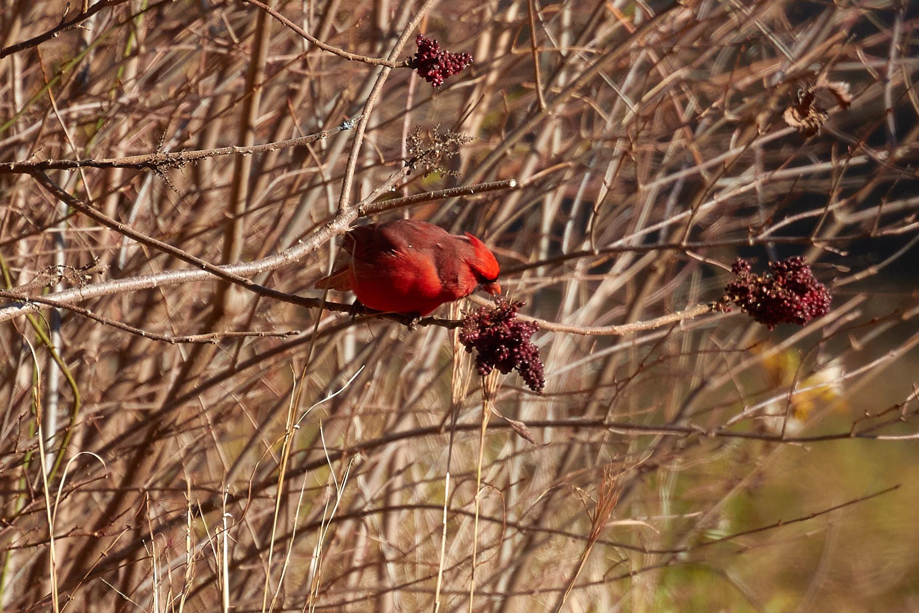 Cardinal eating berries on tree.