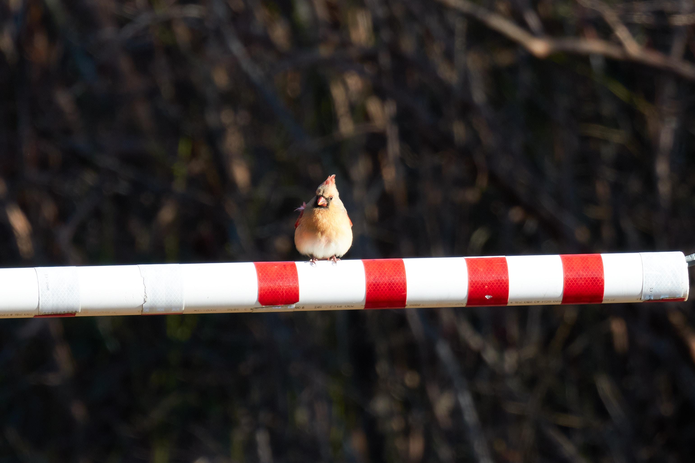 Female cardinal on gate.