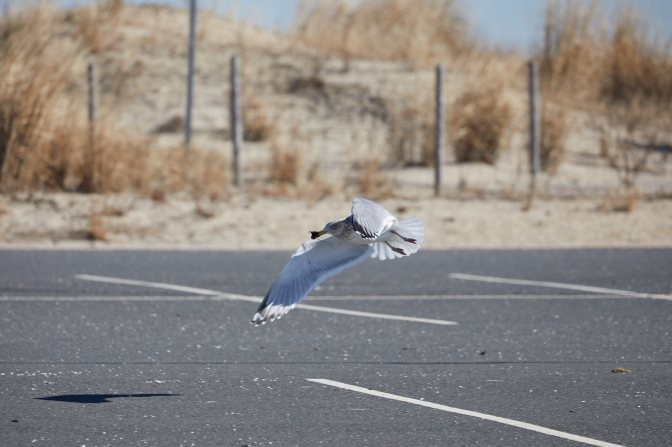 Gull swooping low over parking lot.