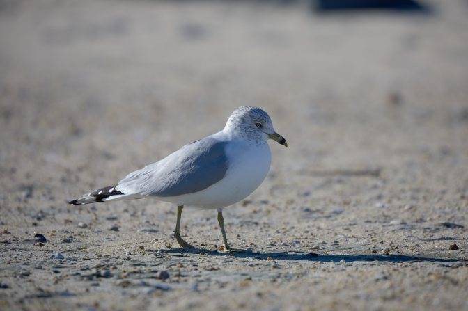 Seagull on beach.