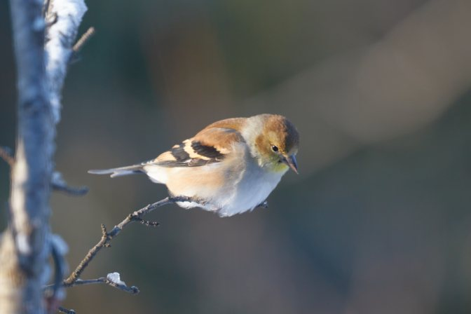 Goldfinch perched on branches.