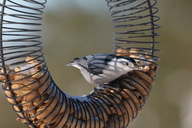 White-breasted nuthatch on bird feeder.