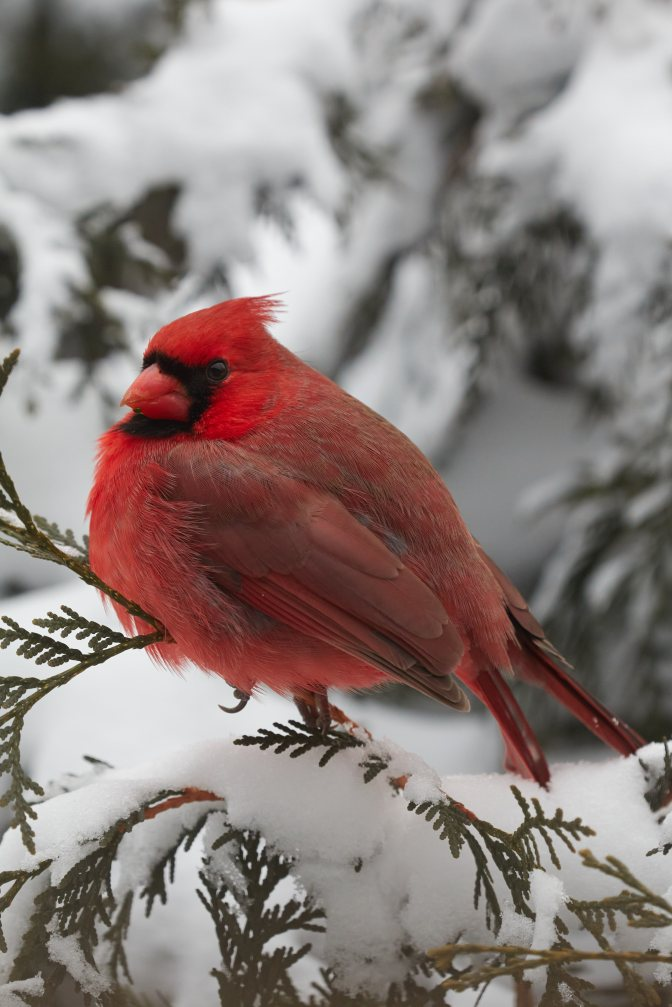 Cardinal standing on branch of bush in snow.