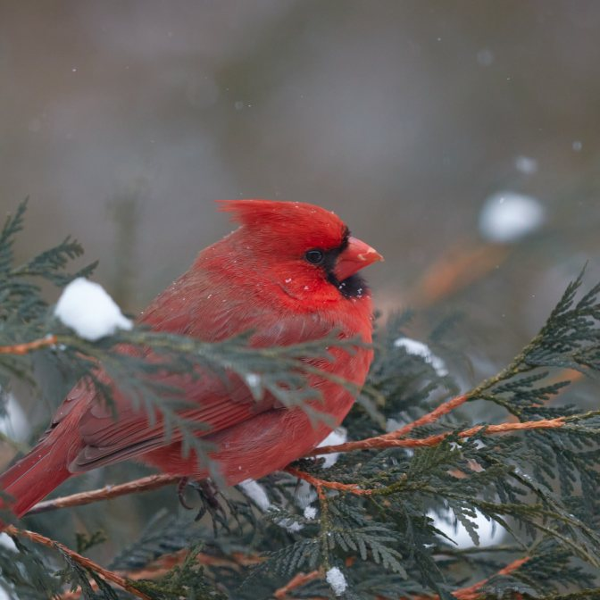 Red cardinal on tree branch in snow storm.