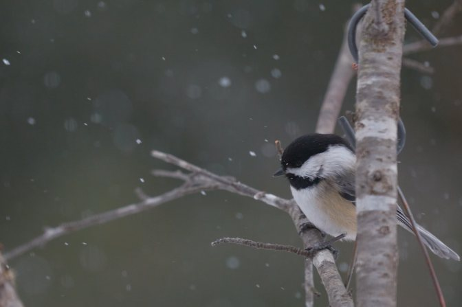 Chickadee perched on branch in snow.