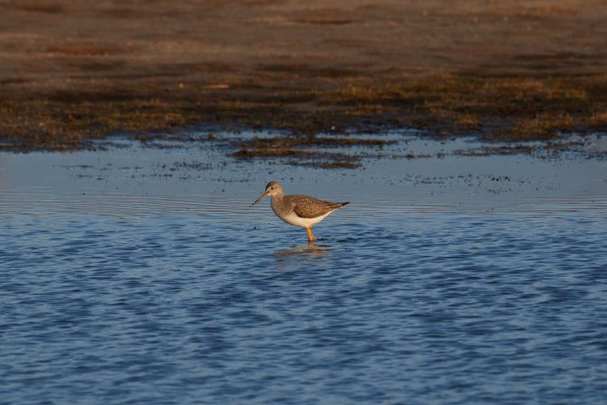 Long-billed dowitcher, wading in pond.