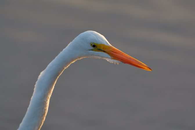 Snow egret, head.