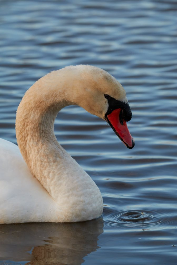 Head and neck of swan.