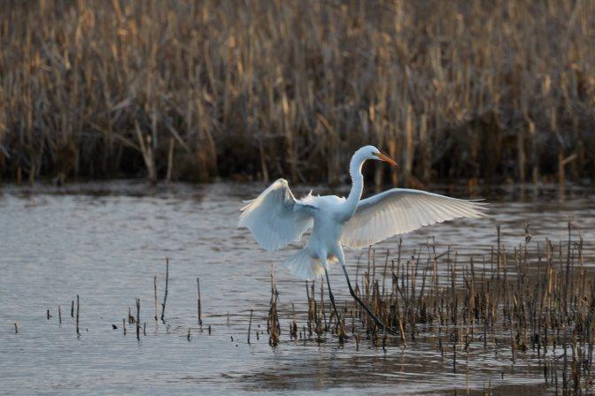 Egret, landing along meadow.