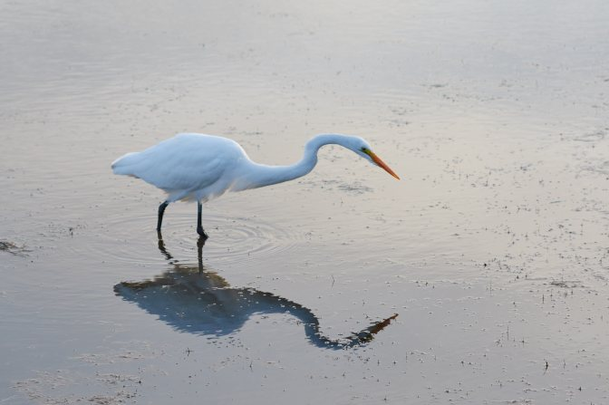 Egret standing in pool of water, its reflection beneath it.