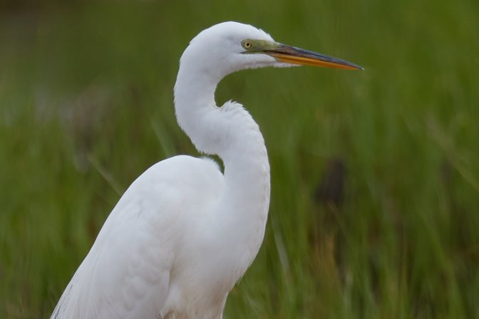 White egret beside grassy field.