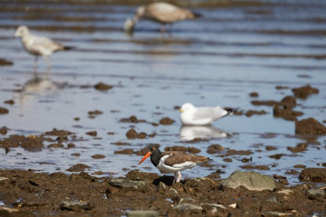 American Oystercatcher along rocky coastline, with seagulls in water behind it.