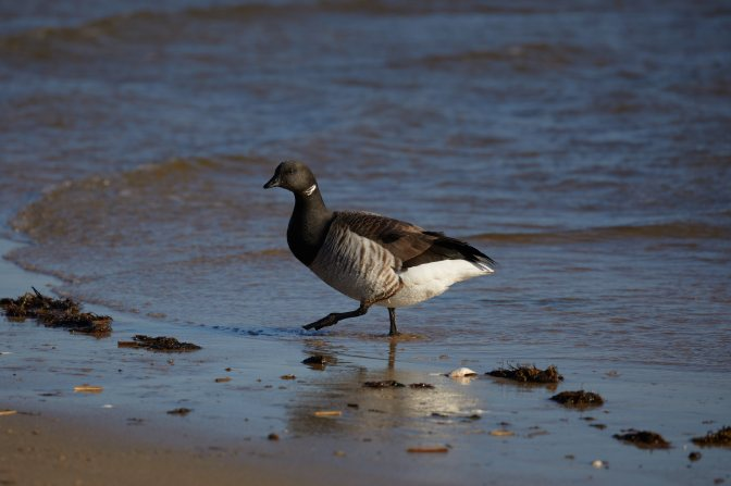 Brant walking along surf.