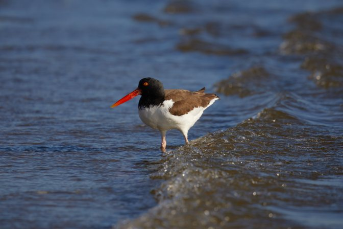 American oystercatcher, in surf.