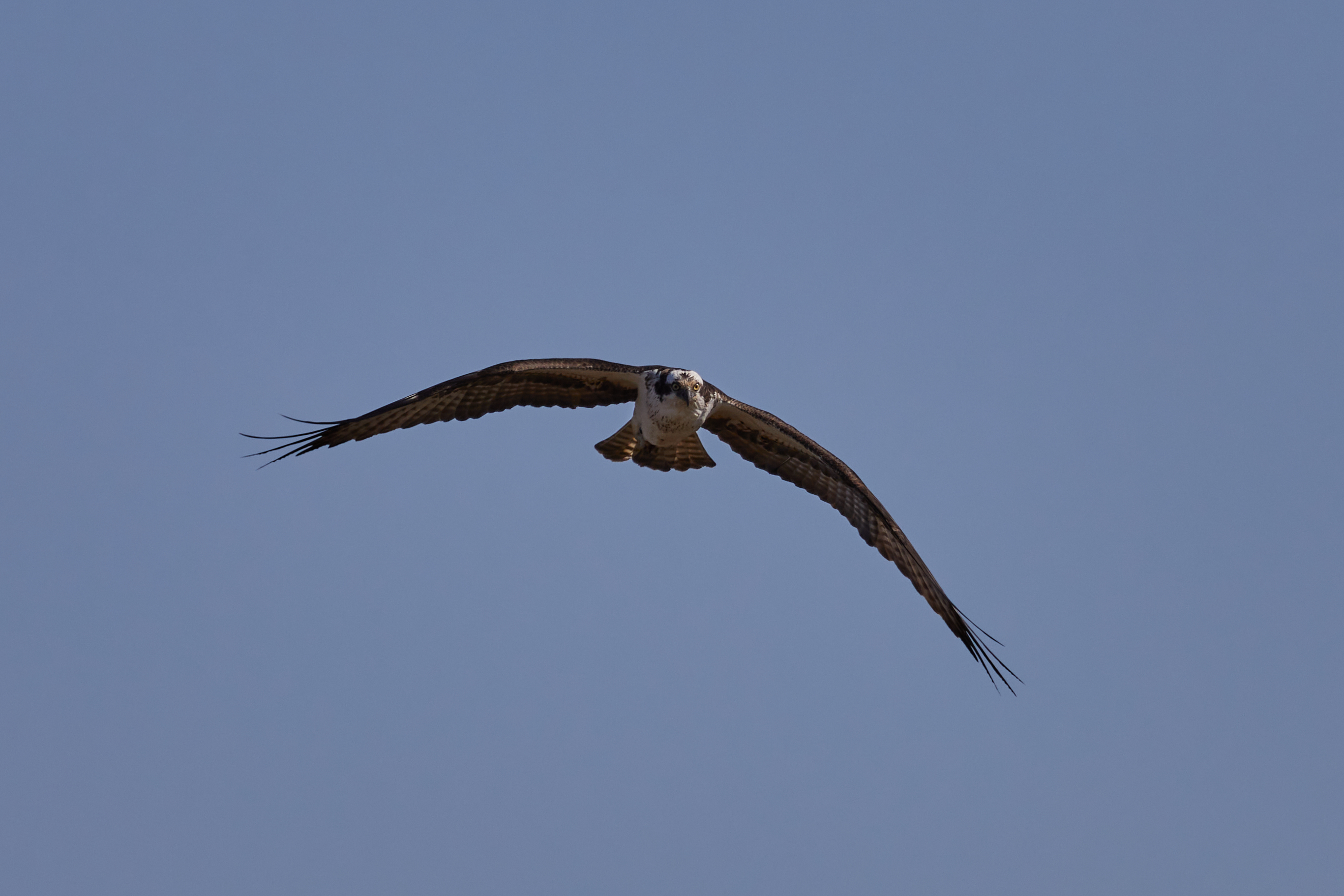 Osprey, with wings outstretched, in flight.
