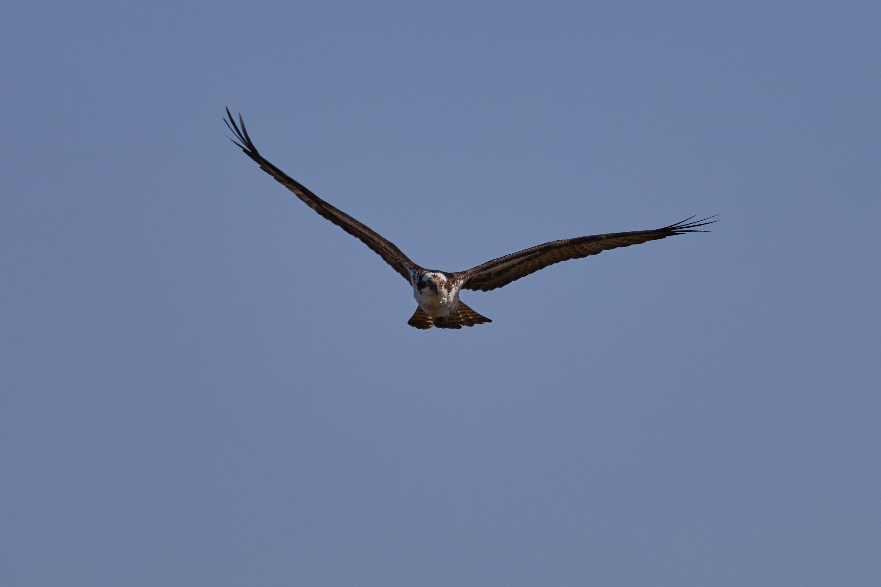 Osprey, with wings spread, in flight.