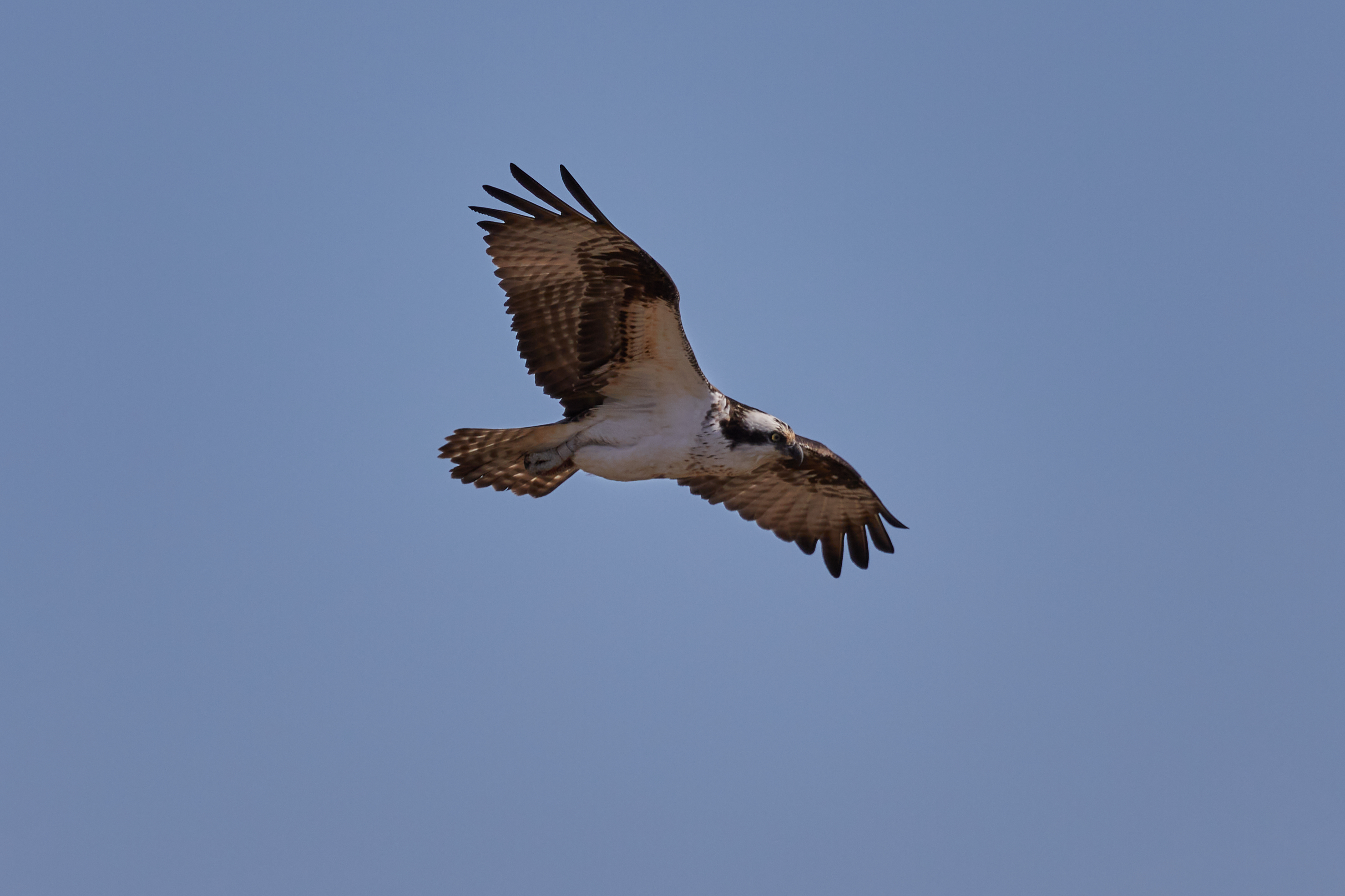 Osprey in flight with wings outstretched.