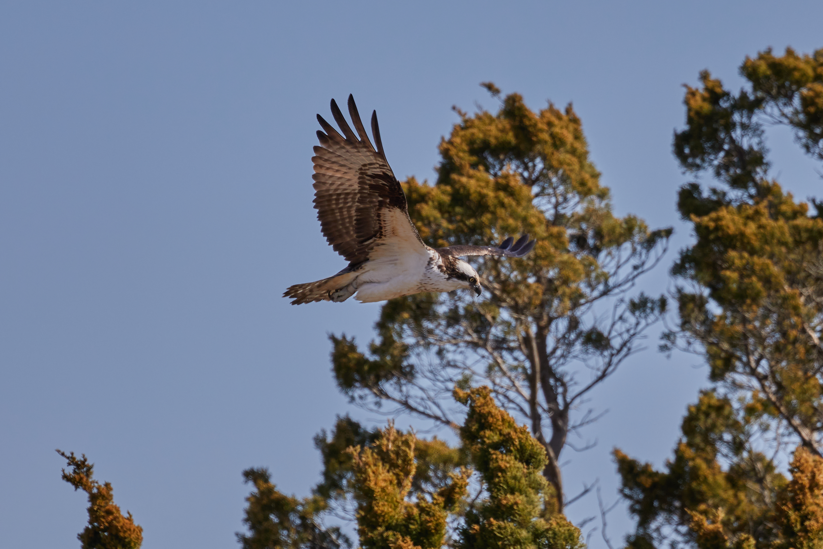 Osprey in flight, with trees in background.