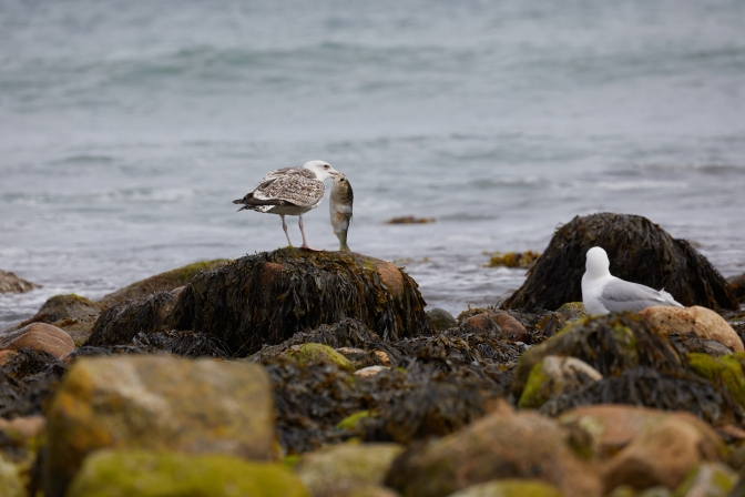 Seagull clutching a fish in its mouth.
