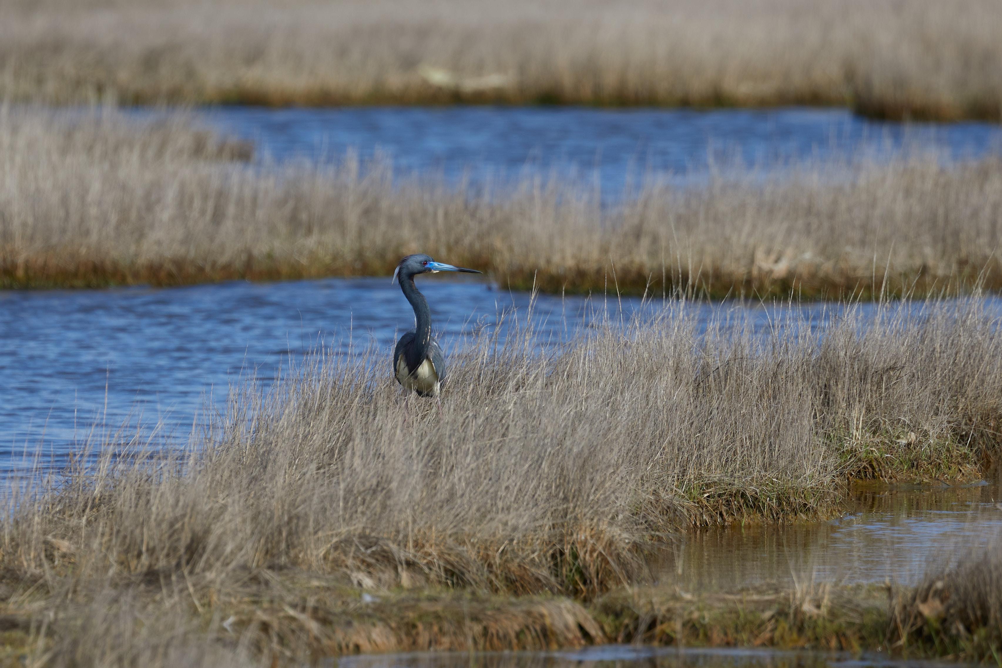 Tri-colored heron in marshland.