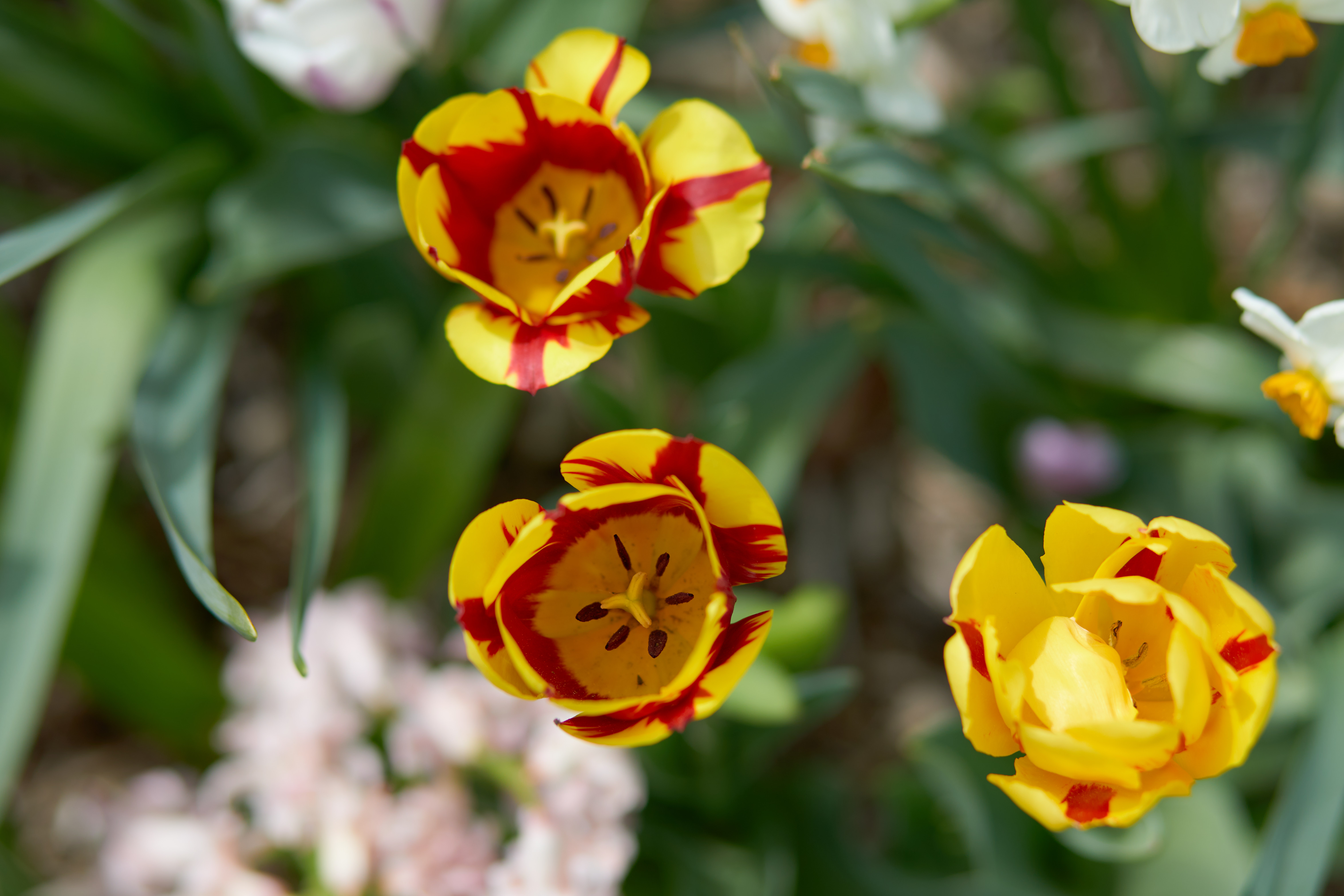 Red and yellow tulips in bloom.