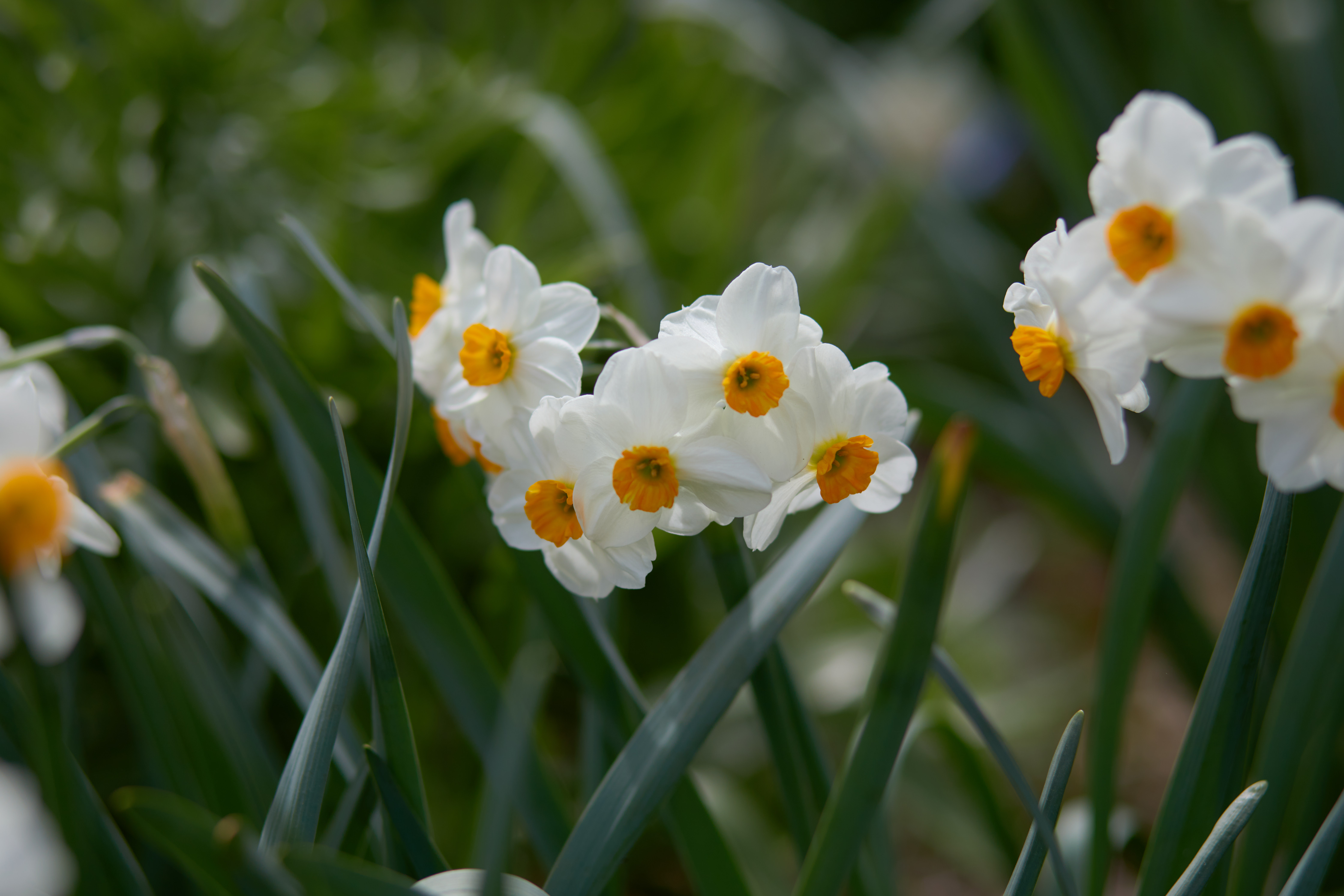 Small narcissus in bloom.