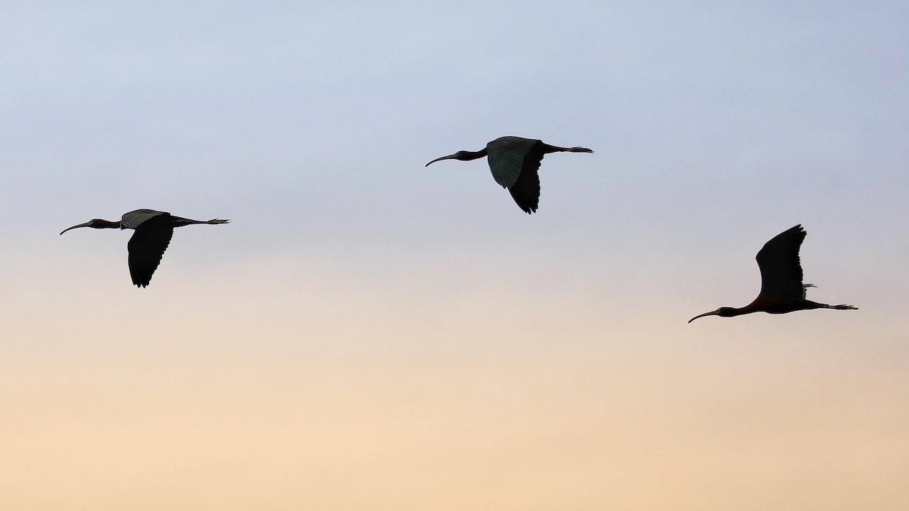 Three ibis flying in morning sky.