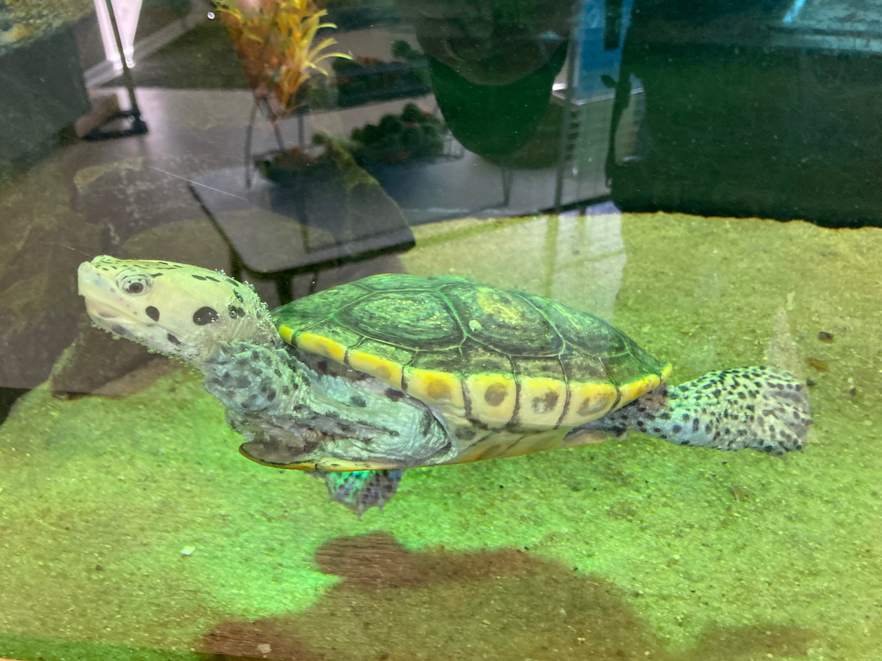 Turtle swimming in aquarium tank.