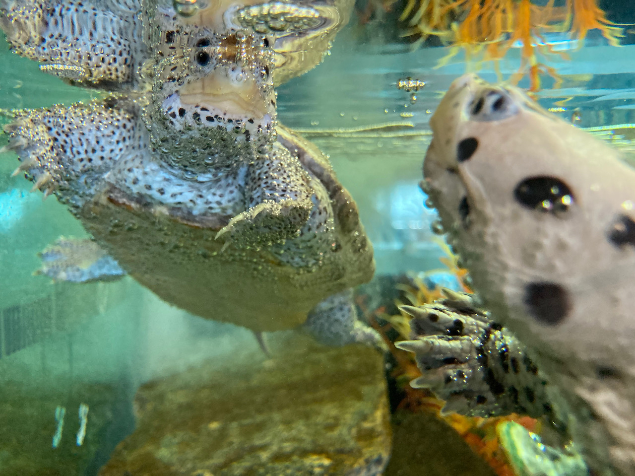Two turtles swimming in aquarium.