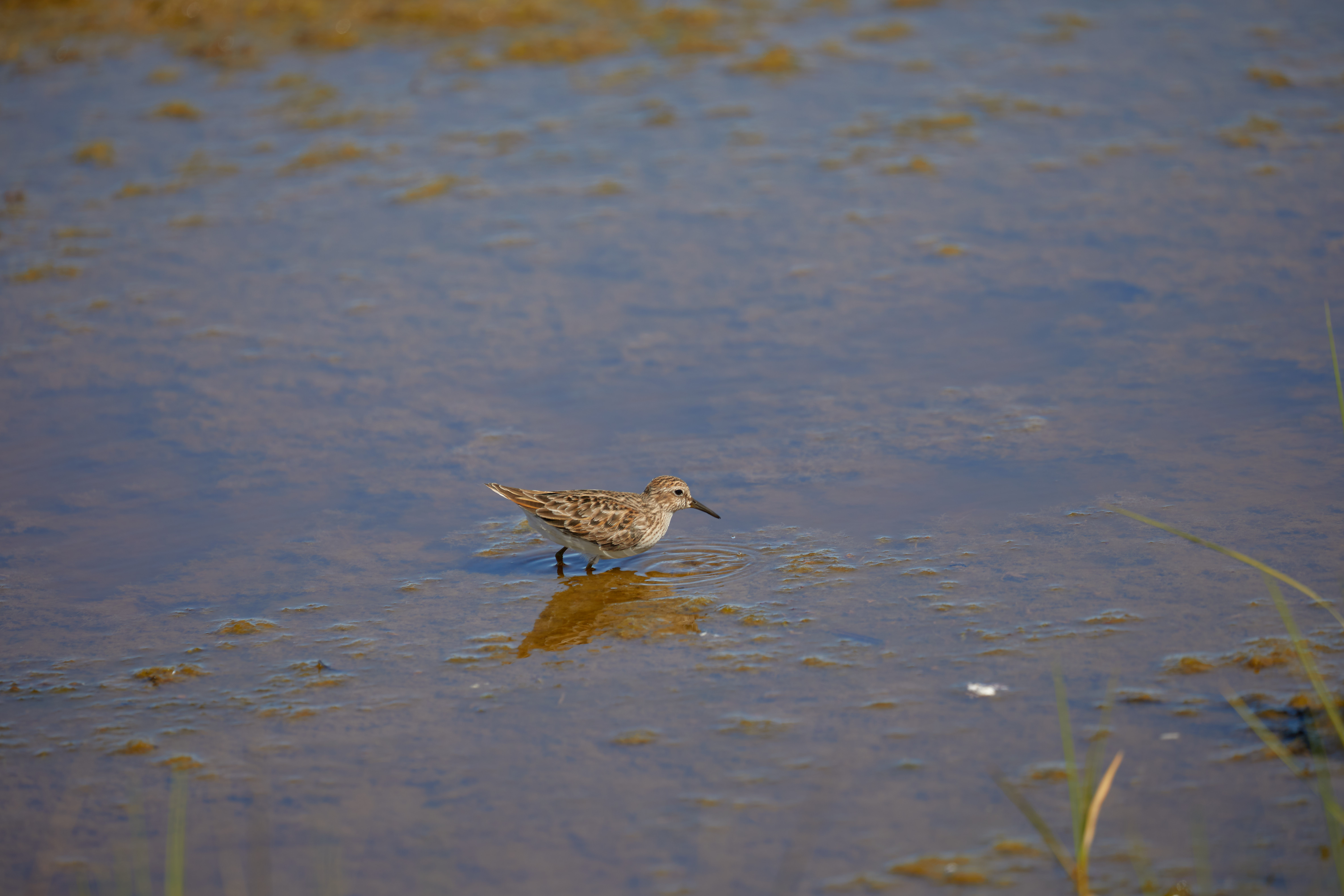 Small brown and grey bird with long beak, in water.