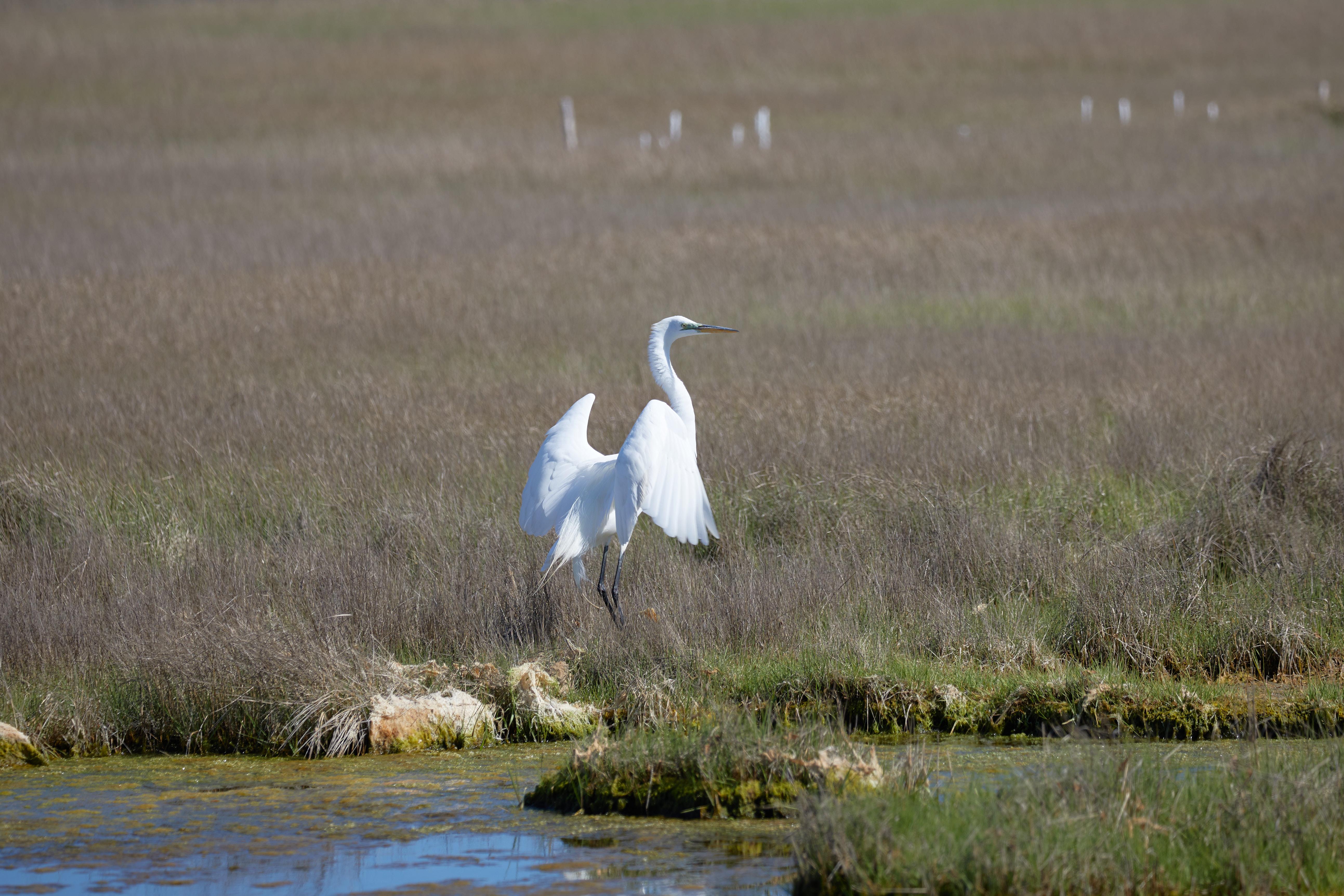 Egret landing in marshland.
