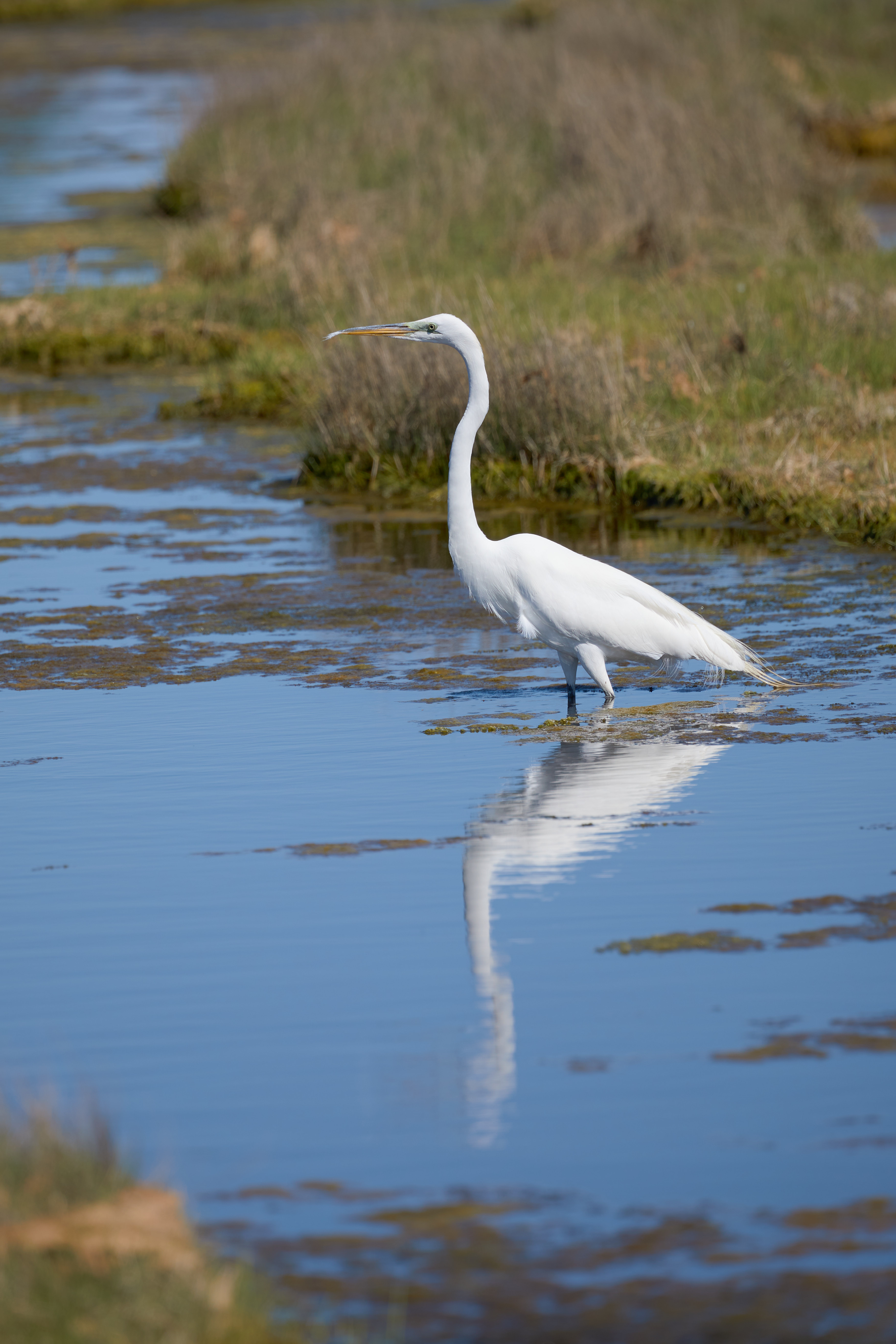 Egret standing in waters of marshland, its reflection in water below.