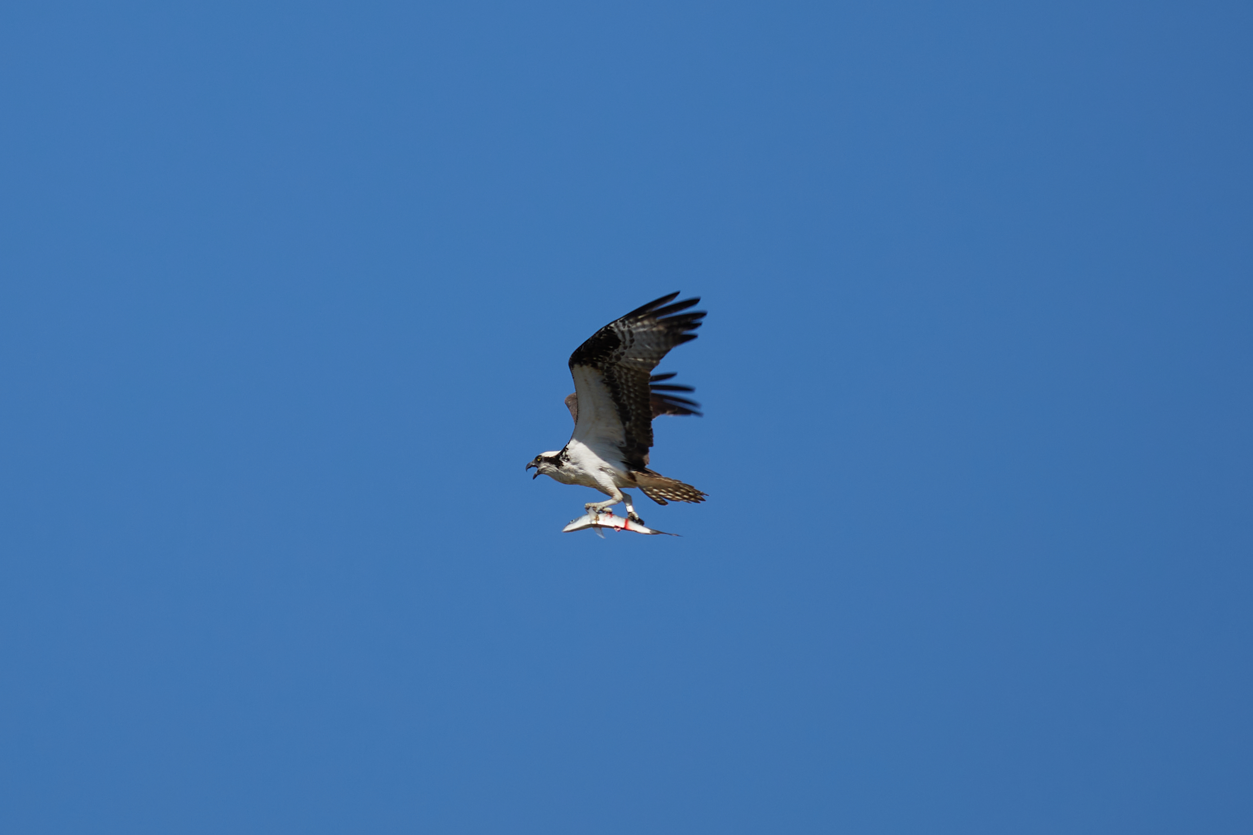 Osprey holding fish in its talons.