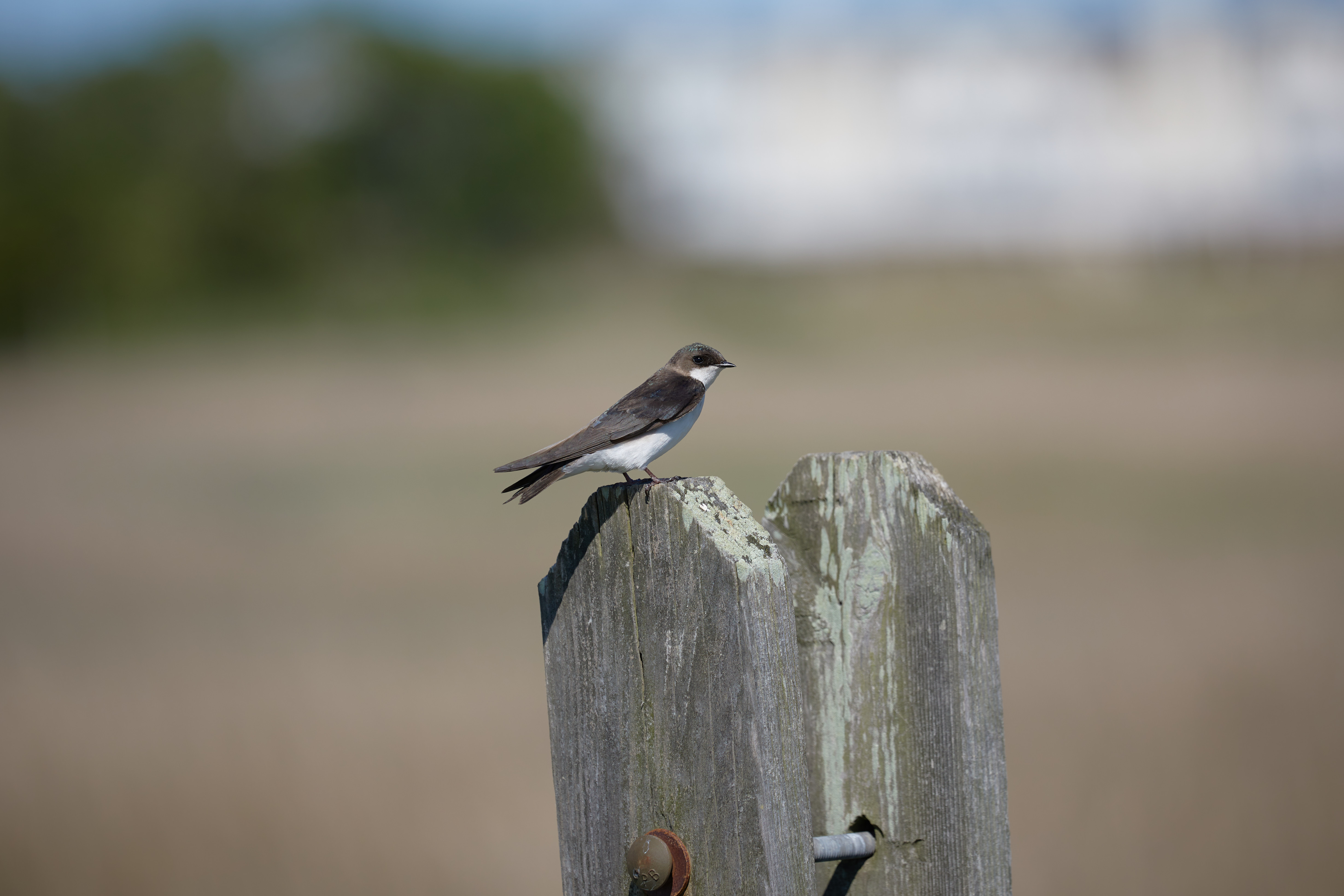 Tree swallow on wooden fence.