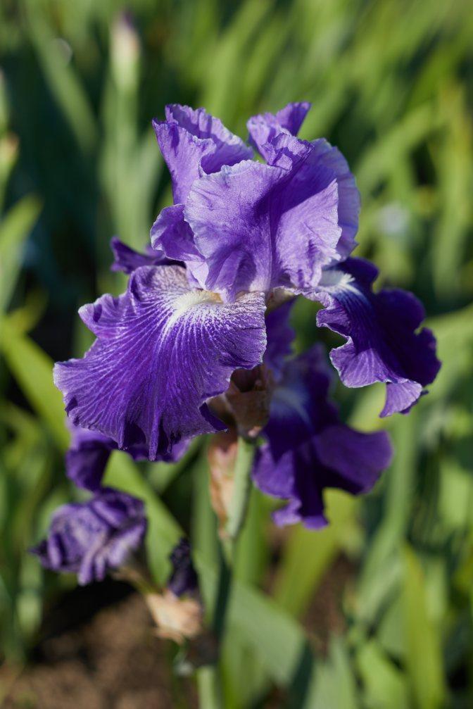 Blue and purple iris.