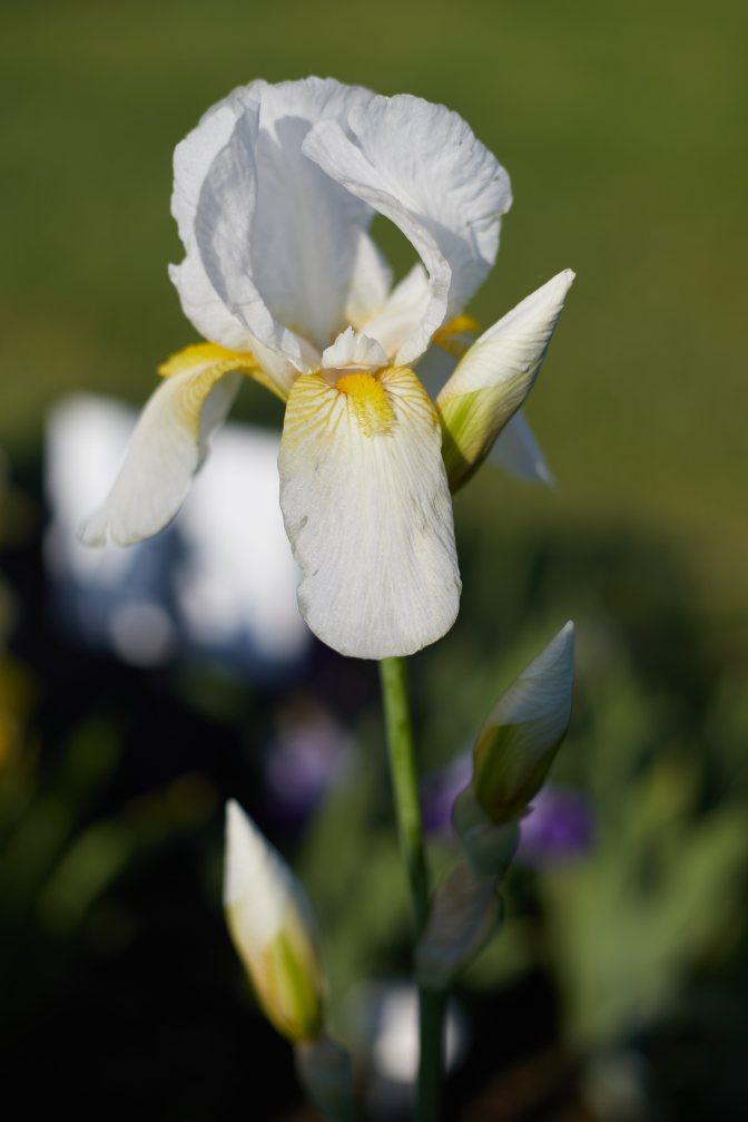 White and yellow iris.