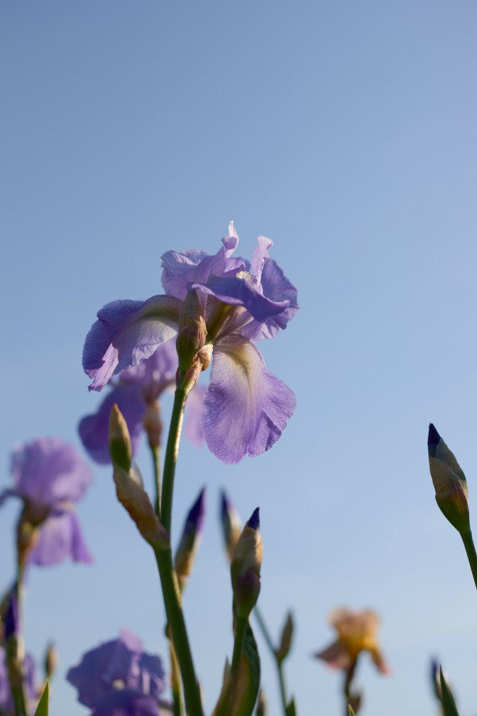 View of blue and white iris, looking upward.