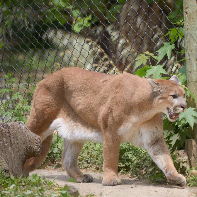 Cougar walking in its enclosure.
