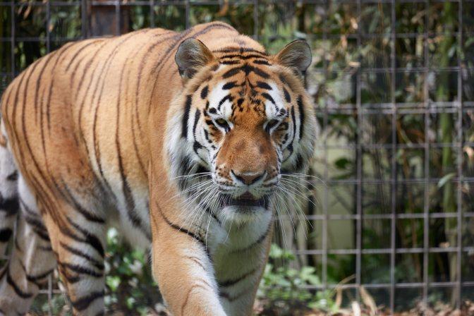Bengali tiger.