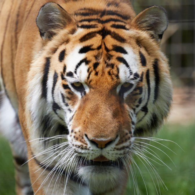 Bengali tiger portrait of head.