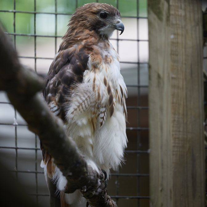 Red-tailed hawk in cage.