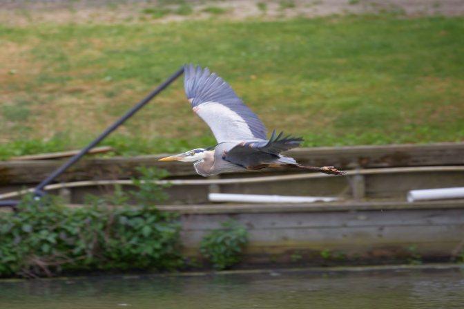 Heron in flight.