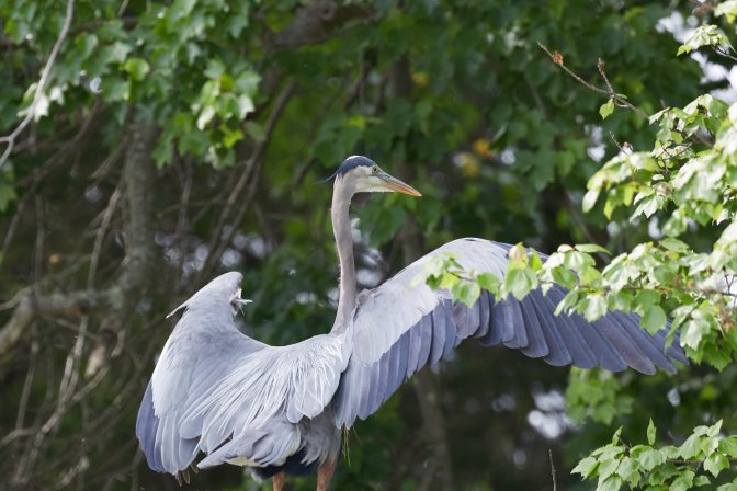 Heron spreading its wings on land.