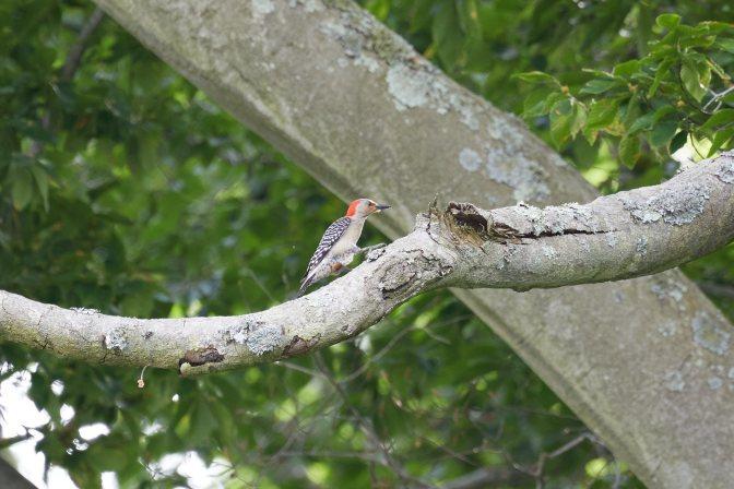 Woodpecker in tree.